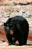 American black bear walking Stock Photo