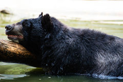 American Black Bear in water Royalty Free Stock Photography