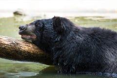 American Black Bear in water Stock Image