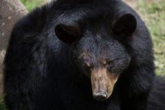 American black bear (Ursus americanus). Royalty Free Stock Images
