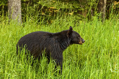 American black bear (Ursus americanus) Stock Photography