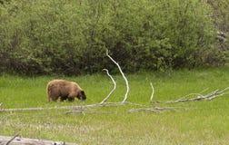 American Black bear in Yosemite National Park Royalty Free Stock Photos