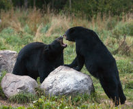 American Black Bears Stock Photo