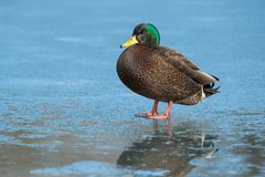 American Black Duck × Mallard - Anas rubripes × platyrhynchos. Male American Black Duck × Mallard hybrid standing on thin ice. Humber Bay Park stock images