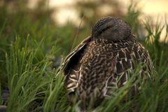 American Black Duck Stock Photo
