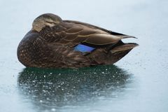 American Black Duck Stock Image