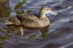 American Black Duck, Anas rubripes. A large dabbling duck, American Black Duck swimming in lake in Nova Scotia, Canada Stock Photography