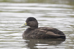 American black duck, Anas rubripes. Single bird on water, captive Royalty Free Stock Photography