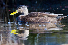 American black duck bubble Royalty Free Stock Photos