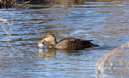American Black duck eating a fish Stock Image