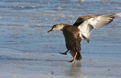 American Black Duck in flight Stock Image