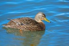 American Black Duck. Floating in water Stock Image