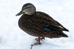 American Black Duck Royalty Free Stock Photos