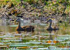 American Black Ducks in the Flowers. A pair of American black ducks swimming near the edge of a pond with lily pads and purple water plant flowers stock image
