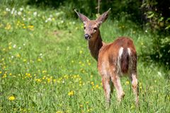 American black tail deer in a grassy field royalty free stock photos
