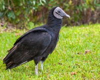American Black Vulture Royalty Free Stock Images