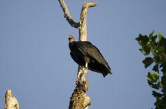 American Black Vulture bird perched on rotten tree snag Stock Photo