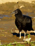American black vulture Royalty Free Stock Photography