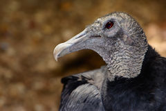 American black vulture Coragyps atratus. Bokeh background. Closeup shows details of head, neck and eye royalty free stock photo