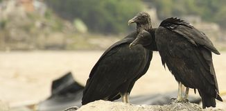 American black vulture couple royalty free stock photos