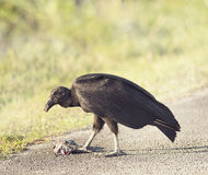 American Black Vulture eating a fish Stock Photos