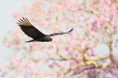 American Black Vulture in flight Stock Image