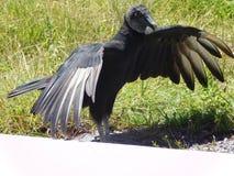 Black vulture Coragyps atratus in everglades, Florida, USA stock photo