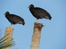 American Black Vulture pair Royalty Free Stock Photos
