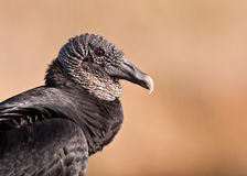 American black vulture profile Stock Images
