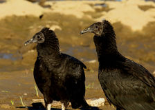 American black vultures Stock Photo