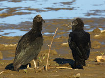 American black vultures Royalty Free Stock Images