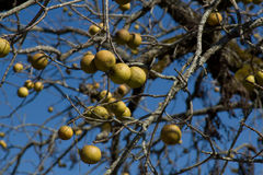 American black walnuts (Juglans nigra) Royalty Free Stock Photo