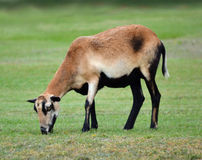 American Blackbelly sheep. An American Blackbelly Sheep ewe grazing in a pasture stock image