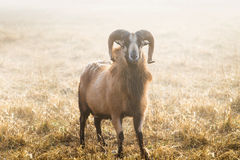 American Blackbelly Sheep Royalty Free Stock Photography
