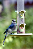 American Blue Jay on feeder Stock Photo