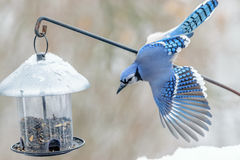 American blue jay in winter Stock Images
