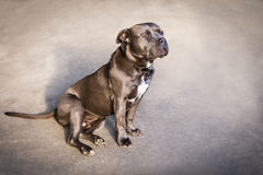 American Blue Nose Bully dog Royalty Free Stock Images