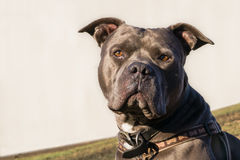 American Blue Nose Bully Royalty Free Stock Image