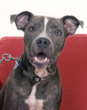 American Blue Pit bull terrier. Portrait of blue pit bull terrier Royalty Free Stock Photo