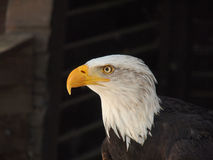 American bold eagle. Heraldic animal of the USA Royalty Free Stock Photo