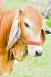 American Brahman Cow Stock Photography
