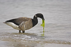 American Brant (Branta bernicla hrota) royalty free stock photo