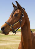 American Bred Brown Gelding Horse. Beautiful American bred brown gelding polo pony Royalty Free Stock Photography