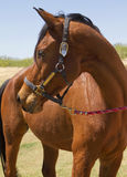 American Bred Brown Gelding Horse Royalty Free Stock Photography