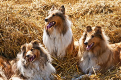 American and British collie dogs Stock Photos