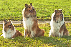 American and British collie dogs Royalty Free Stock Photo