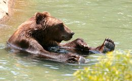 American Brown bear in water at the Memphis Zoo. A Brown bear takes a dip in the water at the Memphis Zoo Stock Photo