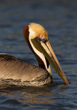 *American brown pelican in the everglades Stock Image