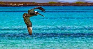 American brown pelican flies over turquoise water near Cerro Brujo beach. Galapagos stock photo