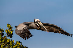 American brown pelican in full flight Royalty Free Stock Photo
